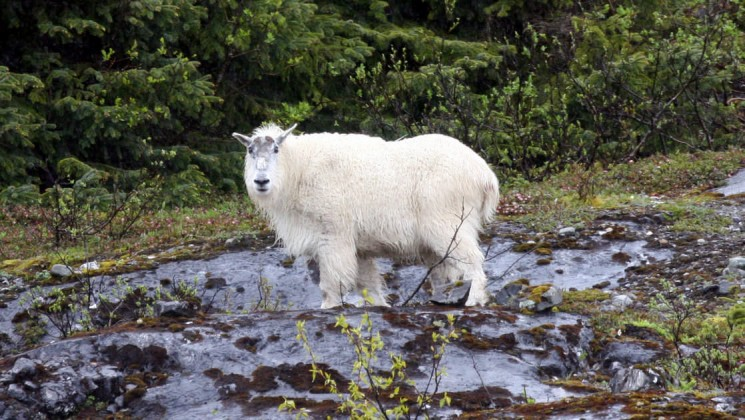 Mountain Goat in the Fjords